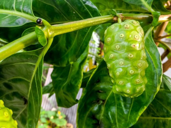 How to Take Noni Juice for Weight Loss