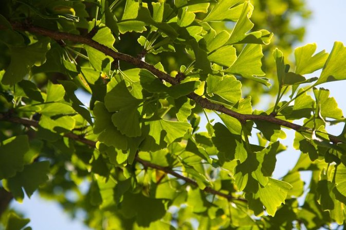 Ginkgo Biloba and High Blood Pressure