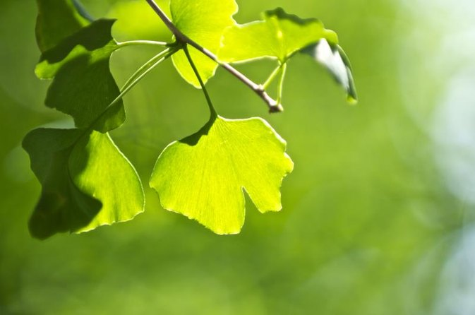 Is Ginkgo Biloba Safe While Drinking Alcohol?