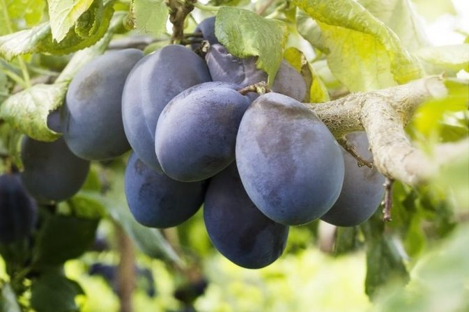 Does Prune Juice Help Bladder Infections?