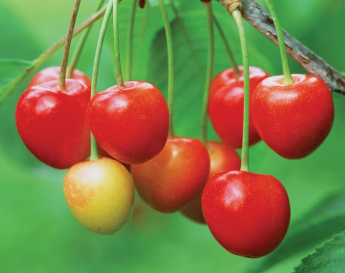 The Best Cherries for Gout