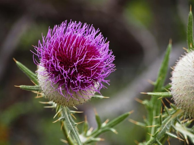 The Recommended Dose of Milk Thistle