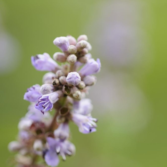 Is Vitex Good to Take When You Have Fibroids?