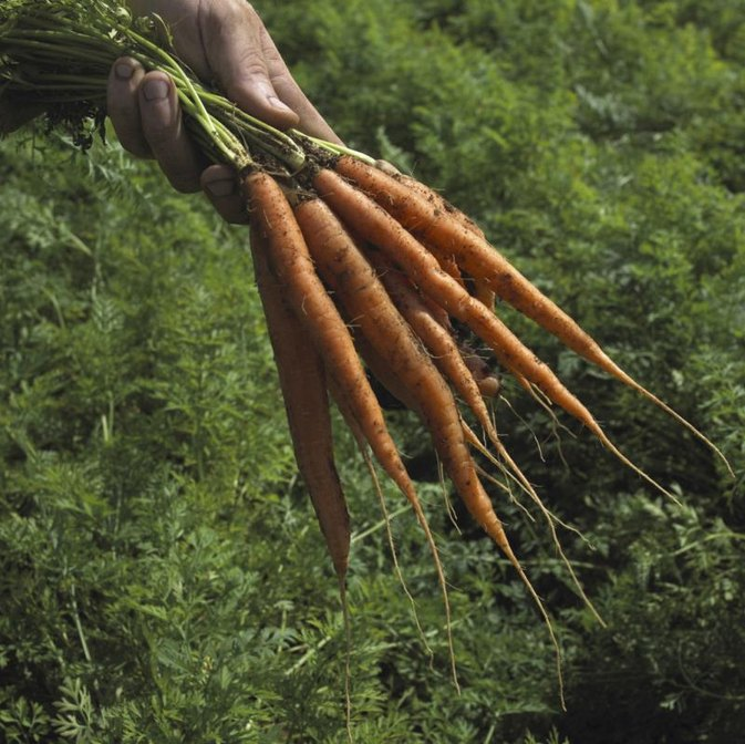 Can Eating Carrots Help You Lose Weight?