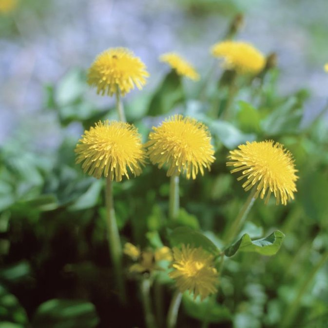 Diets With Dandelion Tea