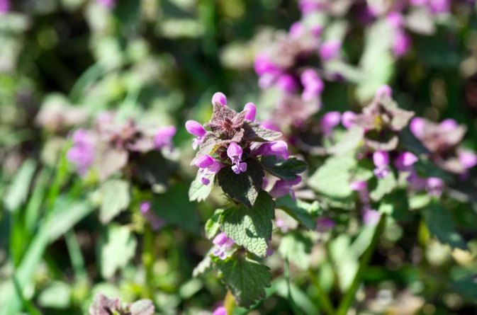 The Benefits of All-Heal & Prunella Vulgaris
