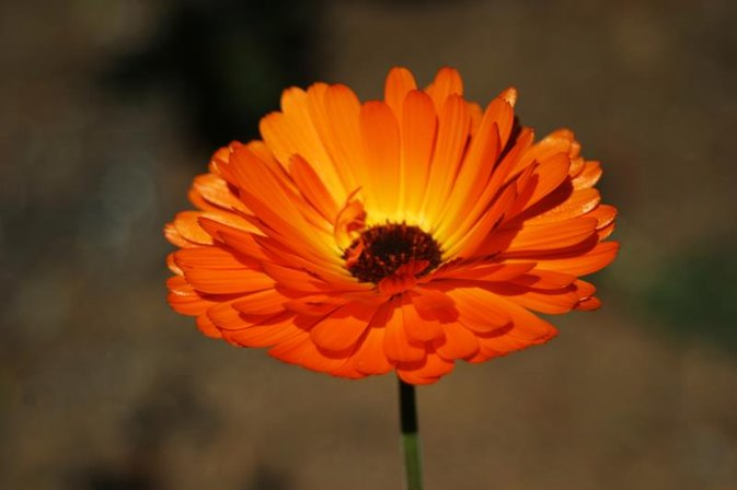 Calendula Ointment for Scars