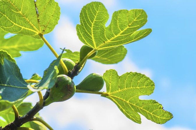 Nutrition Benefits of Fig Leaves