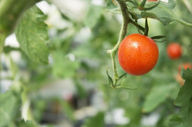 Do Tomatoes Raise Blood Sugar?