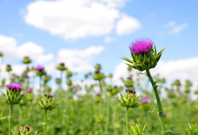 Milk Thistle and Liver Enzymes