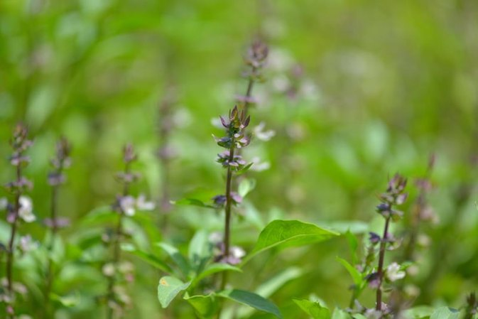 Holy Basil Used for Panic Attacks