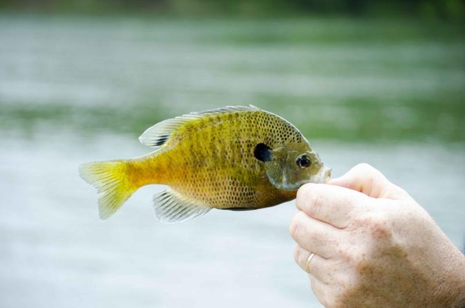 How to Clean, Gut & Cook Bluegill