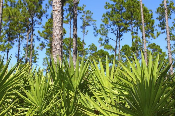 Saw Palmetto for Diabetes