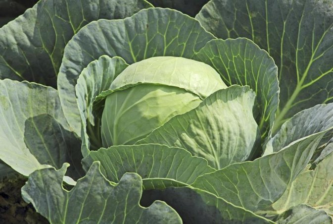 How to Drink Cabbage Juice for Weight Loss