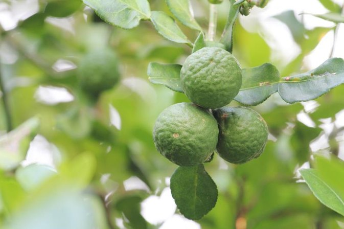 The Side Effects of Bergamot Oil