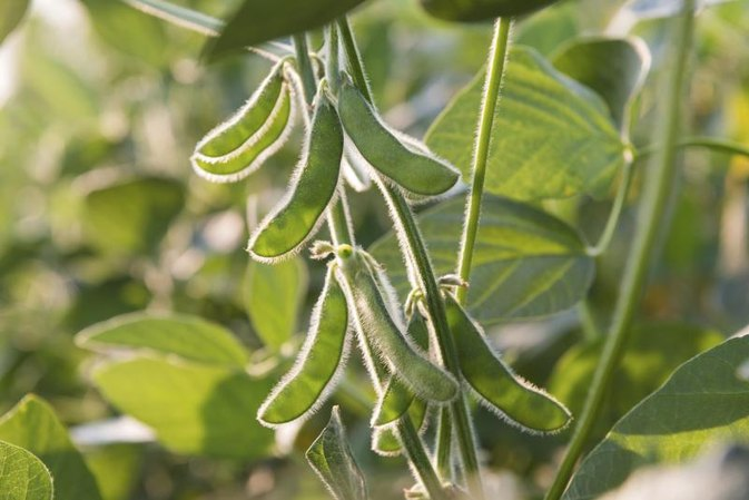 Effect of Eating Soya With an Underactive Thyroid