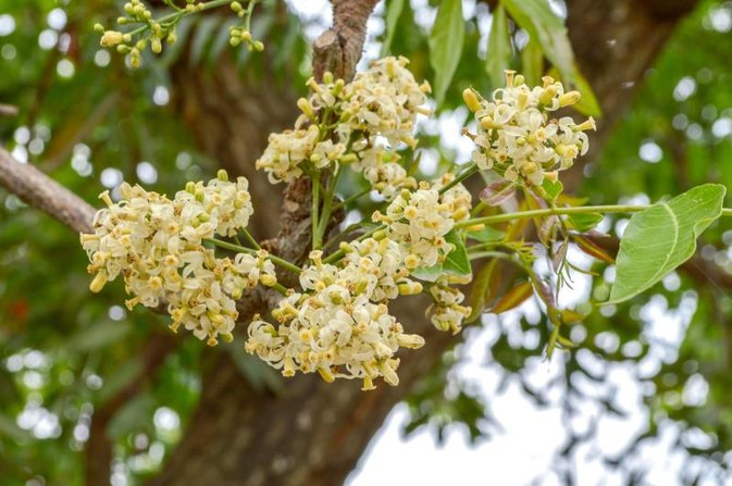 Uses of the Neem Flower