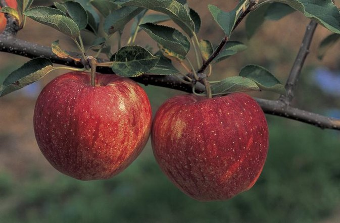 How to Do the Apple Day on the hCG Diet