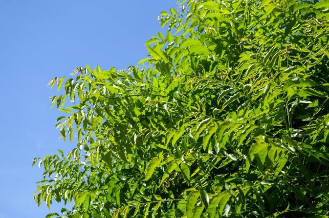 Neem Disadvantages