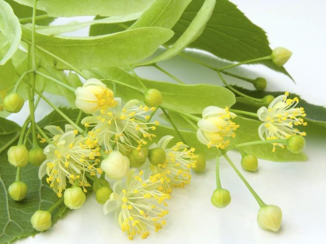 Benefits of Linden Extract