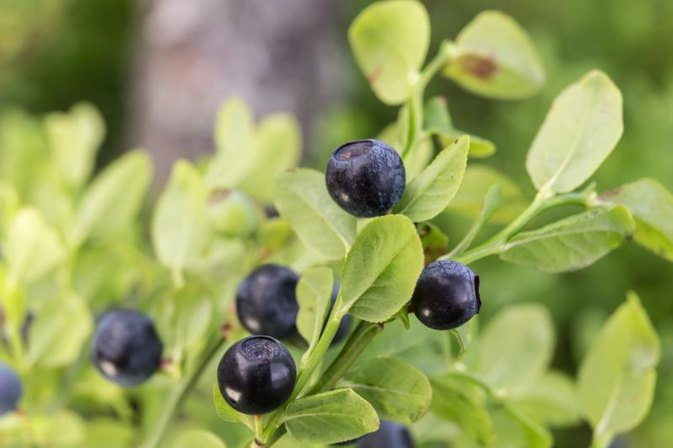 Bilberry and Lutein