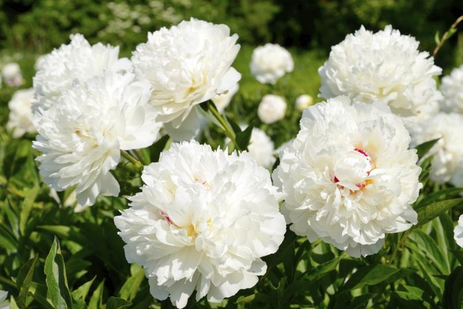 White Peony Tea Health Benefits