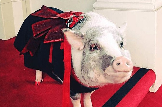 This Adorable Therapy Pig Will Make You Want to Travel