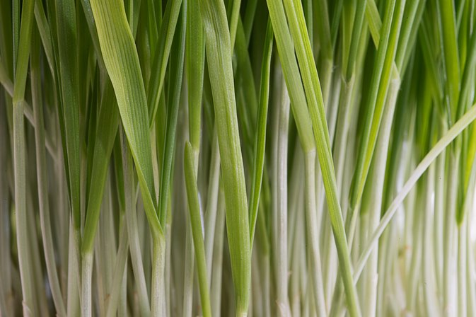 How to Juice Wheatgrass Without a Juicer