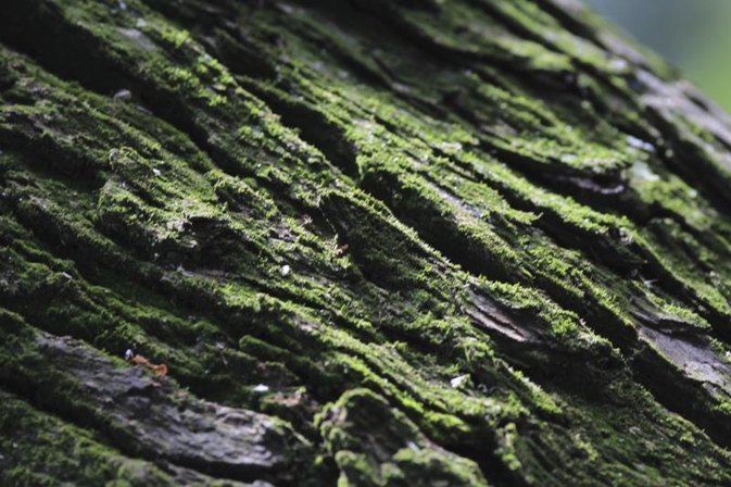 White Oak Bark Benefits