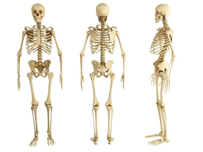 why are bones important to the body? | livestrong, Cephalic Vein