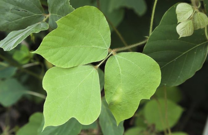 How to Cook & Eat Kudzu