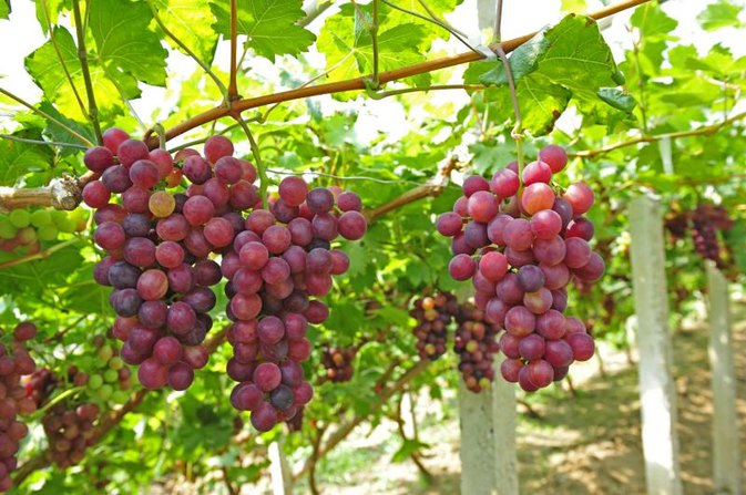 Health Benefits of Red Grapes & How to Pick the Sweetest From the Grocer