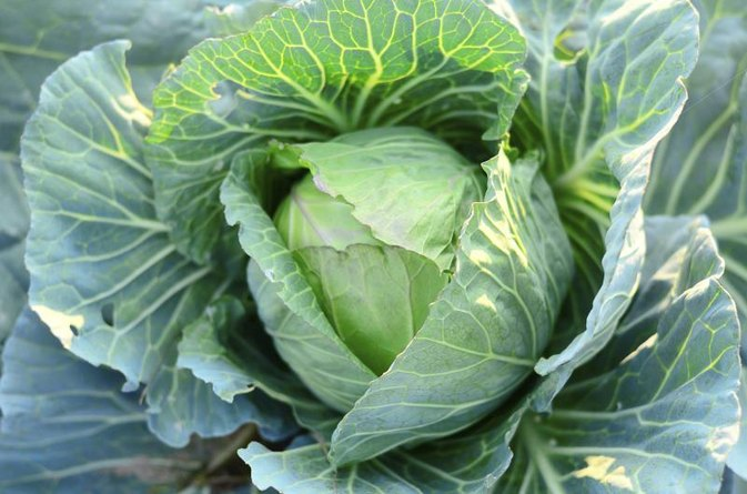 Cabbage & Gout