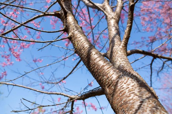 What Are the Benefits of Wild Cherry Bark?