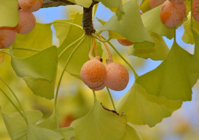 Does Ginkgo Biloba Increase Circulation?