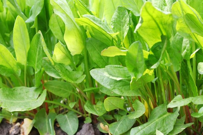 Nutrition Facts on Sorrel