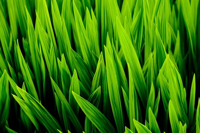 Side Effects of Wheatgrass Juice