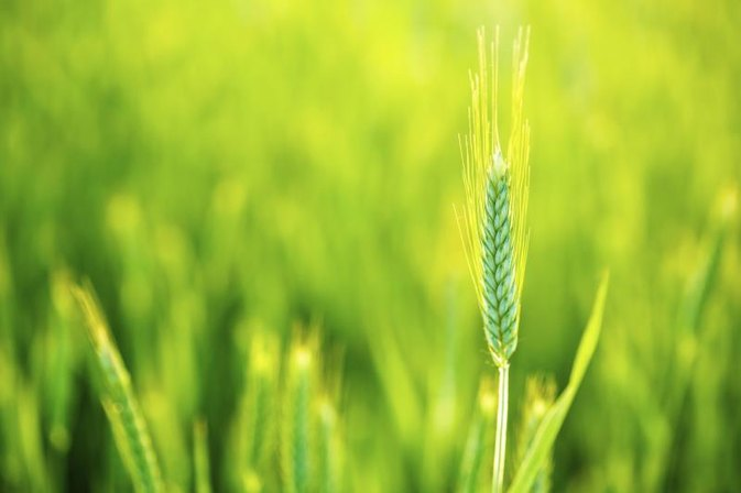 Is Barley Grass Safe for Celiac?