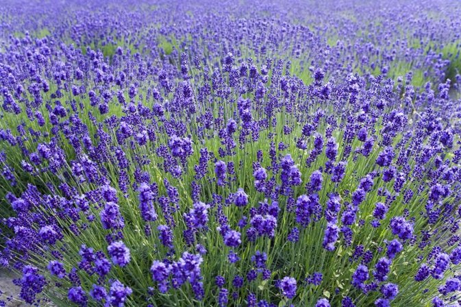 Lavender Oil for Head Lice