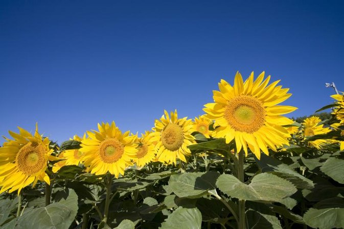 How to Eat Sunflower