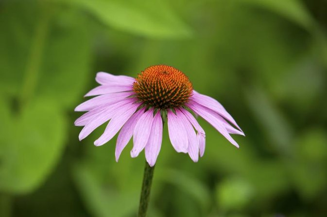 The Disadvantages of Echinacea