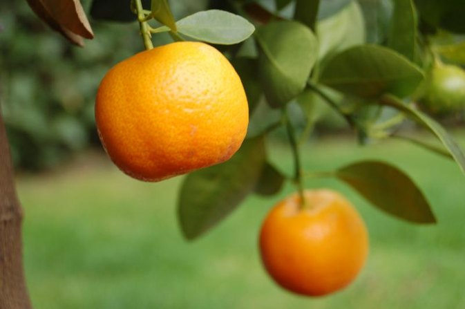 What Is the Difference Between Oranges & Tangerines?