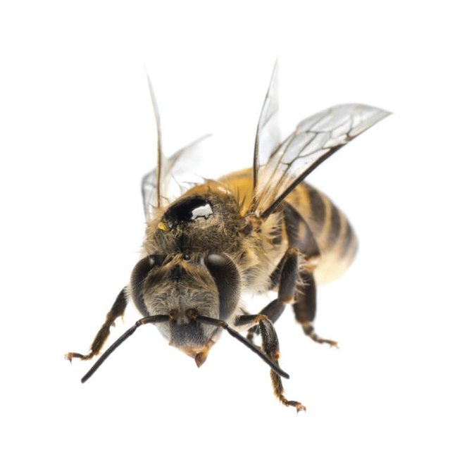 What Are the Benefits of Bee Venom?