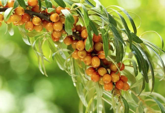 The Benefits of Sea Buckthorn