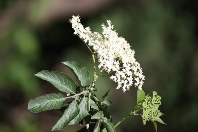 Uses of Elderberry Extract