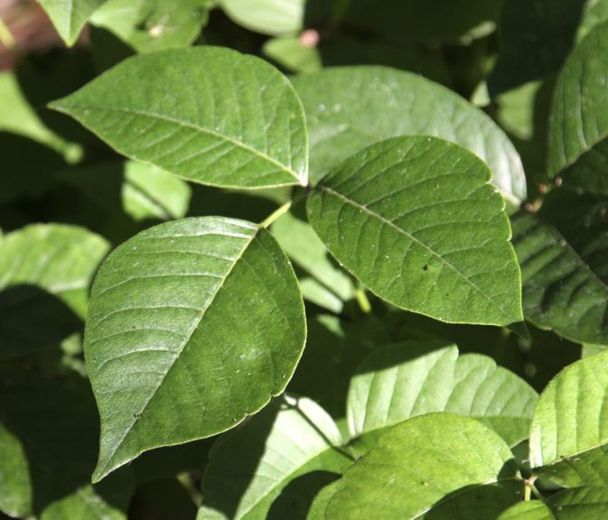 Baking Powder Poison Ivy Treatment