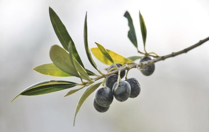 Olive Leaf Extract for Skin Problems