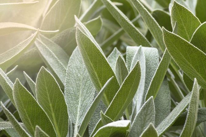 Benefits of the Herb Sage