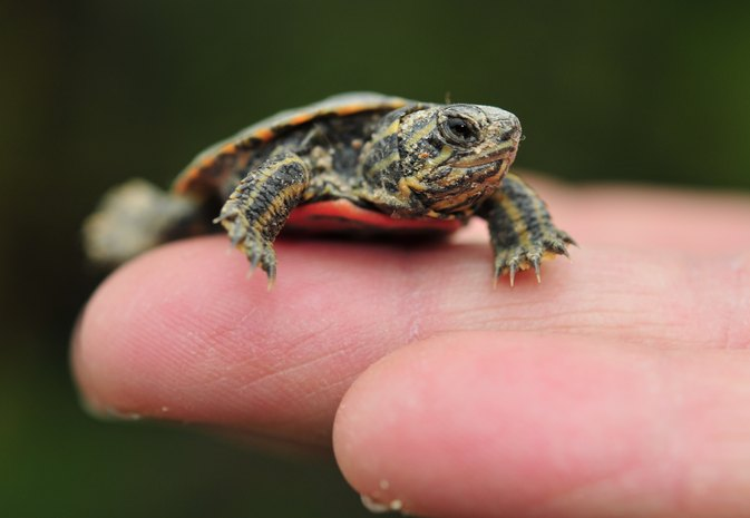 How to Take Care of a Baby Painted Turtle