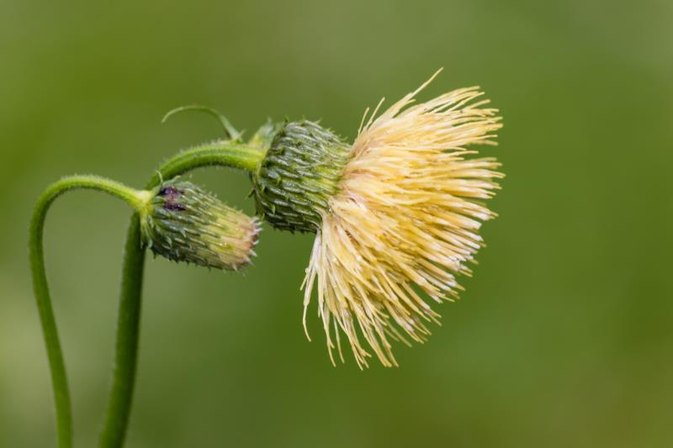 Benefits of Milk Thistle for Weight Loss